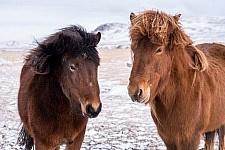 Fauna paarden shutterstock_262956347