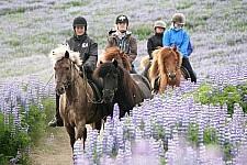Paardrijden op IJsland