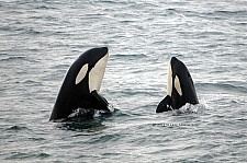 Orka excursie Sneafellsnes