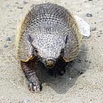 Patagonien Peninsula Valdés Gürteltier
