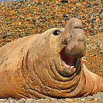 Patagonien Peninsula Valdés See Elefant